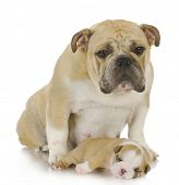 mother dog and three week old puppy - english bulldog