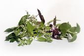 picture of catnip  - Catnip red basil lemon thyme thai basil and mint - JPG