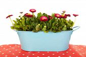 foto of pot-bellied  - Pink Bellis flowers in blue bucket - JPG