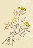 stock photo of tansy  - Tansy flowers illustration  - JPG