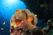 Sea Anemone, Clownfish and Damselfishes on coral reef in the Red Sea