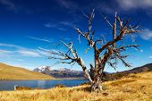 Dry tree in Torres del Paine National Park, Laguna Azul, Patagonia, Chile