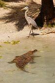 Crocodile And Heron