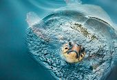 Loggerhead Turtle (caretta caretta) breathing on the surface of the sea