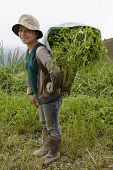 foto of hmong  - Hmong transports vegetables to the valley Laos to sell the product on the market