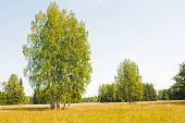 foto of northern hemisphere  - Birch is widespread in the Northern Hemisphere - JPG