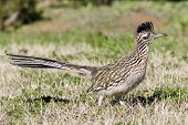 Roadrunner mayor