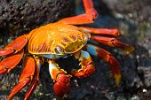 picture of crustations  - red crab on the rock galapagos islands ecuador - JPG