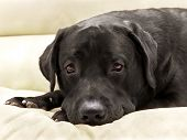 Dog Breed Black Labrador Close Up