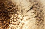 Sheep fur background texture