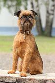 Retrato de cachorro Griffon de Bruxelas no banco de madeira
