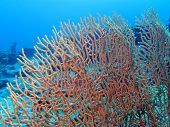 coral reef with beautiful great gorgoniam at the bottom of tropical sea on blue water background