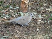 picture of ring-dove  - A ring dove walking alone in the garden - JPG