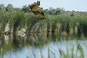 Caça Osprey