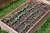 Pea Plants In Raised Bed