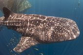 Whale Shark Feeding By Net With Diver In Background