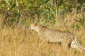 Creeping Leopard