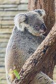 Koala In Tree, Chiangmai Zoo, Thailand