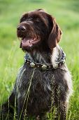 Shorthaired Pointer Hunting Dog Breed Is Sitting