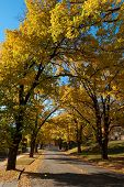 stock photo of tree lined street  - A street lined with yellow trees during autumn in Bright Victoria Australia - JPG