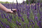 Childs Hand Running Through Lavender Fields