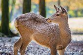Sika Deer At Tamukeyama Hachimangu Shrine In Nara