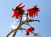 Flowering Coral Tree Erythrina