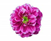 Pink Dahlia In White Background