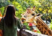 People Feed A Giraffe In A Zoo.