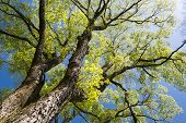 image of elm  - Large elm tree branches spread full in spring - JPG