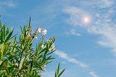 Sun Over Oleanders