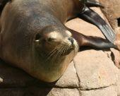 A sleepy sea lion