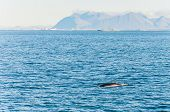 Whale watching in Iceland, near Reykjavik harbor