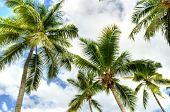 Palms at Saint Lucia, Caribbean
