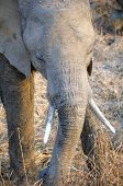 Baby elephant in South Luangwa National Park, Zambia, Africa