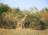 Giraffe in South Luangwa National Park, Zambia, Africa