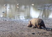 Hippo walking in South Luangwa National Park, Zambia, Africa