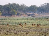 Landscape with antelopes in South Luangwa National Park, Zambia, Africa