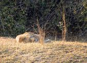 Lion sleeping in South Luangwa National Park, Zambia, Africa