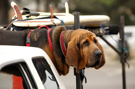 pic of bloodhound  - Portrait of Red dog Bloodhound in car - JPG