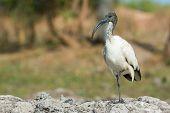 A Sacred Ibis (threskiornis Aethiopicus) Balancing On One Leg