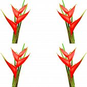 pic of heliconia  - Tropical red heliconia flower  - JPG