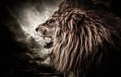 stock photo of african lion  - Roaring lion against stormy sky  - JPG
