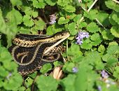 stock photo of harmless snakes  - Eastern Garter Snake warming in morning sun - JPG
