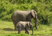 Mother And Baby Elephant Along A River