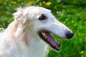Closeup Portrait Dog Borzoi Breed Smiling
