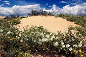 Flowers Of The Sand Dunes