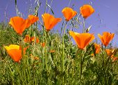 California Poppies, Eschscholzia Californica