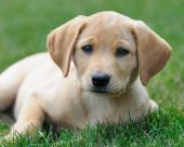 stock photo of cute puppy  - Yellow labrador puppy resting on green grass - JPG
