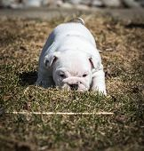 english bulldog puppy playing outside in the grass